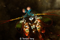 MANTIS SHRIMP by Taotao Yang