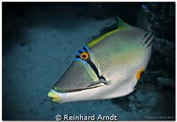 Picasso triggerfish (Rhinecanthus assasi), Safaga, Egypt by Reinhard Arndt