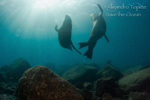 Two Male Sea Lion Playing at the Sun Rays, La Paz Mexico by Alejandro Topete