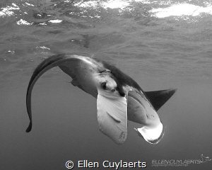 Manta up & close by Ellen Cuylaerts