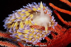 Gas flame nudibranch in its favourite habitat of a Palmat... by Peet J Van Eeden