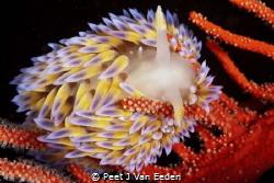 Gas flame nudibranch in its favourite habitat of a Palmat... by Peet J Van Eeden