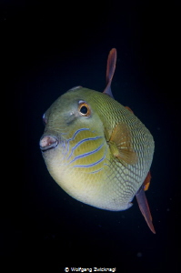 Trigger fish - taken with my 60 mm Makrolens. by Wolfgang Zwicknagl