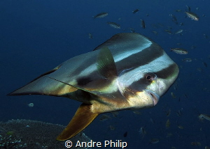 Close encounter with a very curious Batfish by Andre Philip