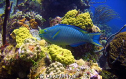 Green Parrot fish crusin by Dave Difiore