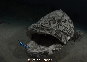The cleaner wrasse has lots of work to do. by Valda Fraser