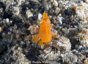 mini frog,Lembeh strait,nikon d800e,105 micro by Puddu Massimo