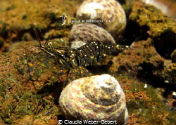 rockpool shrimp El Hierro - Canary Islands by Claudia Weber-Gebert