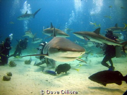 Shark Dive by Dave Difiore