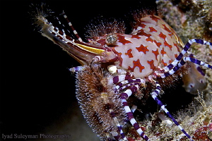 """""""Exotic king"""" (Marble Shrimp) - Sequel This time I took ... by Iyad Suleyman"""