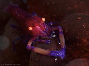 Emperor shrimp by Iyad Suleyman