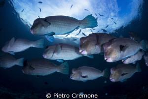 Bumpheads parrotfish by Pietro Cremone