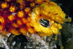 Isopod cleaning some of the tube feet of a starfish's arm by Peet J Van Eeden