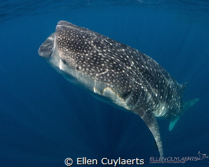 Curves Whaleshark positioning itself for vertical feedin... by Ellen Cuylaerts