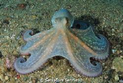 Octopus by Salvatore Ianniello