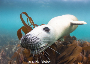 """""""Chocolate"""" the Atlantic Grey Seal in playful mood at Lun... by Nick Blake"""