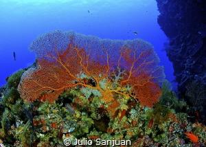 Gorgonian. Nikon D70, 10.5mm, 2 strobes Inon. by Julio Sanjuan