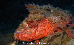 Scorpion fish by Philippe Brunner