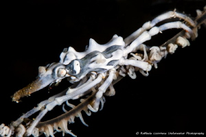 Xeno crab on whip coral by Raffaele Livornese