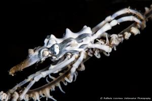 Xeno crab on whip coral by Raffaele Livornese