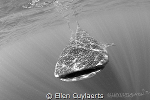 Whaleshark in Isla Mujeres, seemed to be carried by rays ... by Ellen Cuylaerts