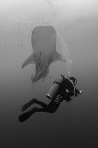 Diver with Whaleshark by Henrik Gram Rasmussen