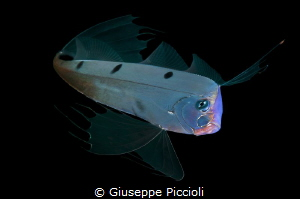 The angelic vision/ An extremely rare ribbonfish (Trachyp... by Giuseppe Piccioli