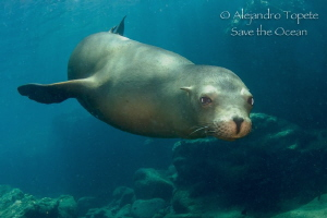 Sea Lion encounter, La Paz Mexico by Alejandro Topete