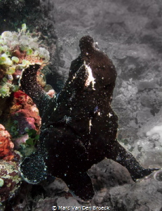 black frogfish in colors by Marc Van Den Broeck