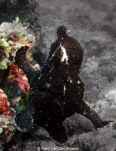 black frogfish in colors by Marc Van Den Broeck