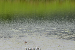 Home of the crested grebe by Leena Roy