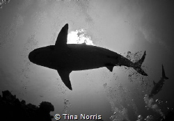 Sharks by Tina Norris