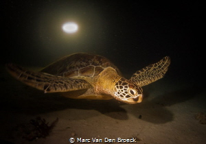 night turtle by Marc Van Den Broeck