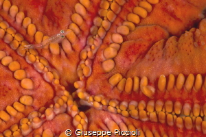 Close to the hole/ Micro shrimp approaching a sea star or... by Giuseppe Piccioli