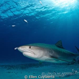 Tiger shark with shadow feeding little jacks by Ellen Cuylaerts