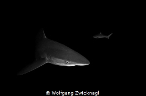 Night snorkeling with Silky Sharks in Socorro - what an e... by Wolfgang Zwicknagl