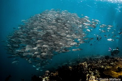Behind you!  A diver missing out on a passing school of t... by Elaine Wallace