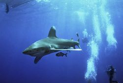 longimanus at elphinstone reef red sea Nik-RS subtronic ... by Manfred Bail