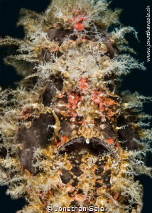 particular, Hairy Frogfish by Jonathan Sala