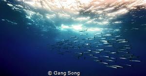 Barracuda Parade by Gang Song