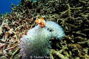 Nemo in Alcyonacea by Taotao Yang