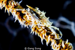 Wire coral crab by Gang Song
