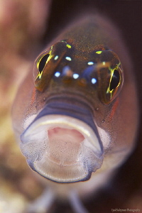 Blenny from UAE (No crop!) by Iyad Suleyman