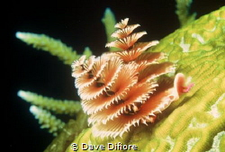 Christmas Tree worms Merry Christmas by Dave Difiore