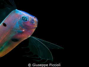 The Angel 2/ The Ribbonfish while displaying its changing... by Giuseppe Piccioli
