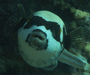 masked puffer fish by Chris Krambeck