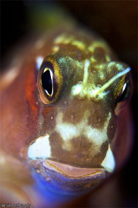 Blenny from Kapalai island (No crop!) by Iyad Suleyman