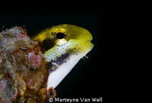 Blenny with a parasite in Lembeh Strait by Marteyne Van Well