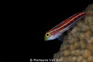 A goby on coral by Marteyne Van Well