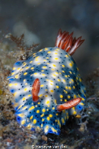 A beautiful nudi on Tandurusa in Lembeh Strait by Marteyne Van Well